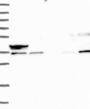 NBP1-84419 - Endophilin-A3