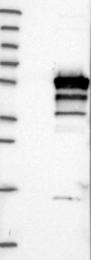 NBP1-81368 - Endophilin-B2