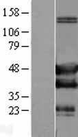 NBL1-15934 - SH3GLB2 Lysate