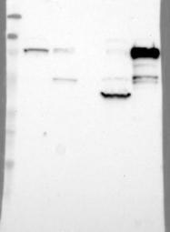NBP1-85615 - SH3KBP1