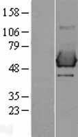 NBL1-15936 - SHC1 Lysate