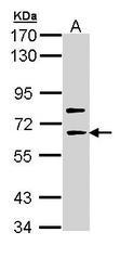 NBP1-33119 - SHC4 / SHCD