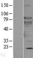NBL1-15937 - SHC4 Lysate