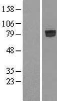 NBL1-15938 - SHCBP1 Lysate
