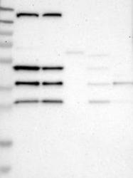 NBP1-86053 - SHD