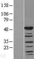 NBL1-15939 - SHD Lysate