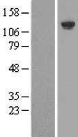 NBL1-12000 - SHIP Lysate