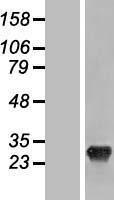 NBL1-15942 - SHISA3 Lysate