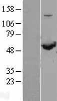 NBL1-15946 - SHMT1 Lysate