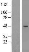 NBL1-15947 - SHMT1 Lysate