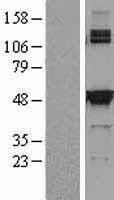 NBL1-15948 - SHMT2 Lysate