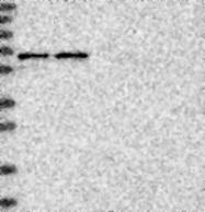 NBP1-84372 - SIAE