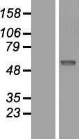 NBL1-15952 - SIAE Lysate