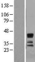 NBL1-16490 - SIAT4A Lysate