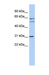 NBP1-59247 - SIGLEC10