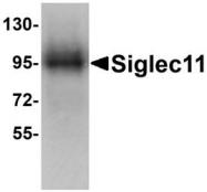NBP1-77025 - SIGLEC11