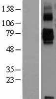 NBL1-15958 - SIGLEC11 Lysate