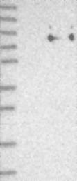 NBP1-91149 - CD170 / SIGLEC5