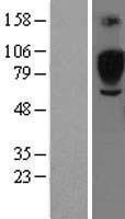 NBL1-15960 - SIGLEC5 Lysate