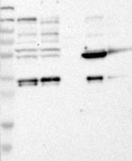 NBP1-85756 - CD327 / SIGLEC6