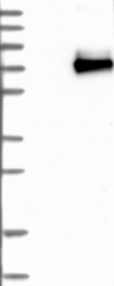 NBP1-85757 - CD327 / SIGLEC6