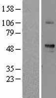 NBL1-15961 - SIGLEC6 Lysate