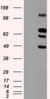 NBP1-47969 - CD329 / SIGLEC9
