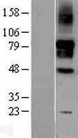 NBL1-15964 - SIGLEC9 Lysate