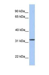 NBP1-59243 - SIGLEC12
