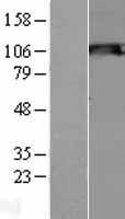 NBL1-16279 - Snf1lk2 Lysate