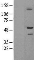 NBL1-15966 - SIL1 Lysate