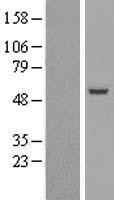 NBL1-15967 - SIL1 Lysate