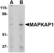 NBP1-76777 - MIP1