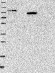 NBP1-81412 - SIPA1L2