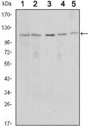 NBP1-51641 - SIRT1