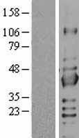 NBL1-15974 - SIR2 Lysate