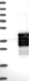 NBP1-84264 - SIX1