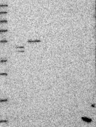 NBP1-88399 - SKA3