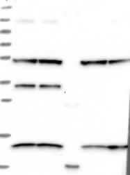 NBP1-88400 - SLAIN1