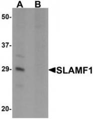 NBP1-76555 - CD150 / SLAMF1