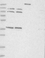 NBP1-81134 - SLC10A4