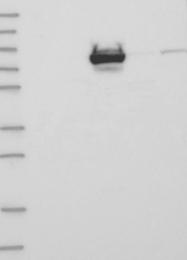 NBP1-83067 - SLC12A4