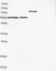 NBP1-86585 - SLC12A8