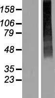 NBL1-16020 - SLC17A2 Lysate