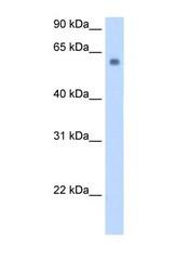 NBP1-60038 - SLC1A4