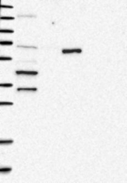 NBP1-82500 - SLC22A12 / URAT1
