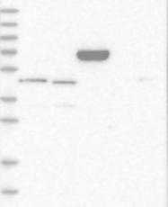 NBP1-84662 - SLC22A15