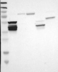 NBP1-89417 - SLC22A2 / OCT2
