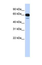 NBP1-60107 - SLC22A8 / OAT3