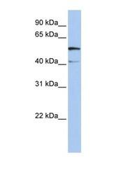 NBP1-59896 - SLC23A3